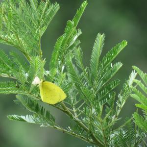 ミモザのキチョウ、ムシヒキアブ ベランダの昆虫記録
