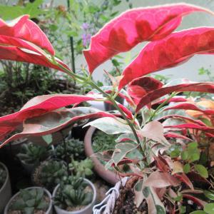 赤い葉裏の「青紫木」