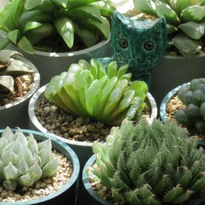 暑い暑い夏の日の多肉植物ハオルチア「グリーン玉扇」「大型オブツーサ」