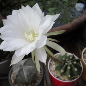 サボテン「サブデヌダータ」花の観察