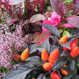 黒い葉、紫の葉 オレンジの花と実 ハロウィンカラーの寄せ植え