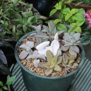 多肉植物カランコエのウサギたち