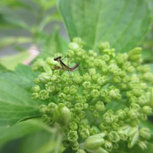 紫陽花にカマキリ    ベランダの昆虫記録