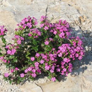 観音崎散歩 ハマナデシコの花