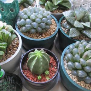 多肉植物「カメレオンヘルメット」とハオルチア