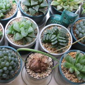 多肉植物ハオルチア、亀甲竜、蒼角殿