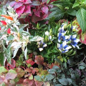 秋の色の寄せ植え ケイトウ、リンドウ、トウガラシ