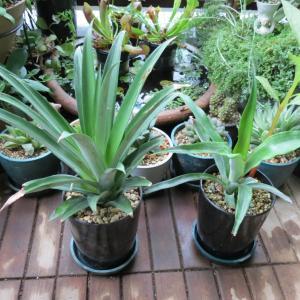 鉢に植えたパイナップルの上の方 2021