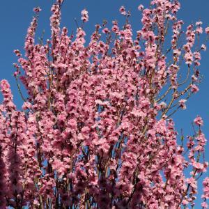 桜も満開です