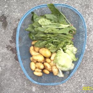 妻の実家から野菜を貰って来ました。
