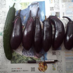 妻の実家の畑からキュウリとナスとチシャ菜をもらって来ました