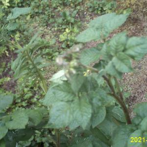じゃがいもに蕾が出来てトマトの芽が出ました