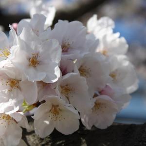 【おうち花見をどうぞ♪】 Vol.1292