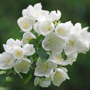 梅花空木 (ばいかうつぎ) のお花
