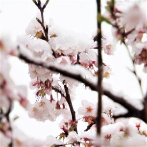 桜に雪が降り積もった