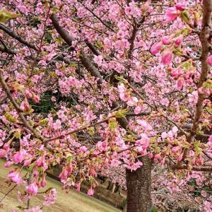 河津桜と梅林とミモザ