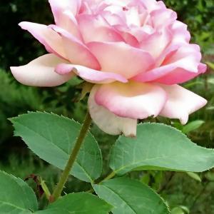 薔薇の花&検査結果