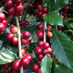 コーヒーの収穫時期の様です。