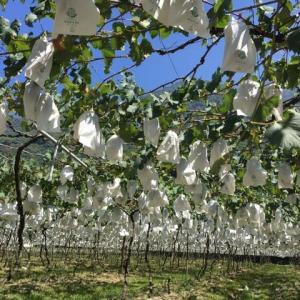 信義区の葡萄
