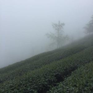大崙山一体に広がる茶園