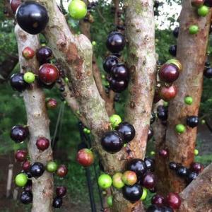 木になる面白い果物。
