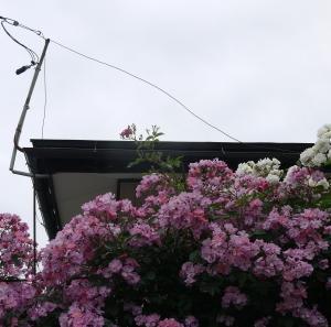 庭の薔薇をドライフラワーに・キャントルにします