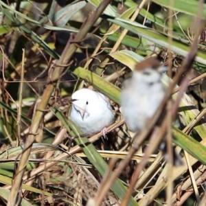 白い雀 その後
