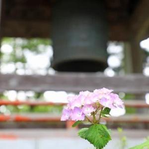 境内の紫陽花、続き
