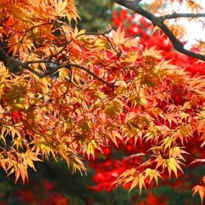 福泉寺の紅葉 参