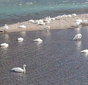今年で36シーズン目の白鳥湖 ~安曇野市 犀川~