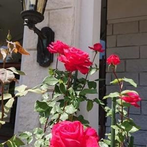 安曇野近代美術館の薔薇2020 ~安曇野市~