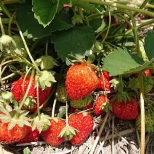 イチゴの収穫と自家製ジャム♪