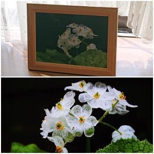 濡れるとガラスのように透明になる花「サンカヨウ」を求めて ~栂池自然園(1)~
