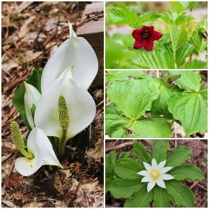 初夏の高層湿原で見られる花々 ~栂池自然園(2)~