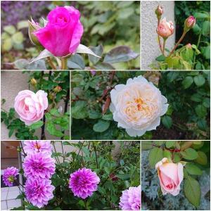 花も団子も!!秋薔薇と栗きんとん