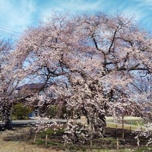 桜2021 樹齢300年のエドヒガンと雪形&小学校の桜