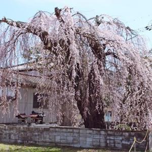 桜2021 大黒町の枝垂桜と若一王子神社