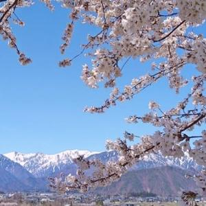 桜2021 大町市観光道路と市民の森 宇宙桜