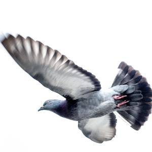 江戸川を舞う鳩