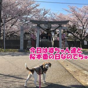 2021桜本番!母恋ロードへ