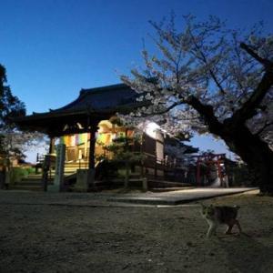 夜桜さんぽ