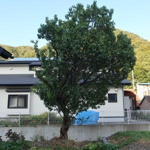 梅の木を伐採予定です。