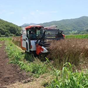 菜種の収穫作業!