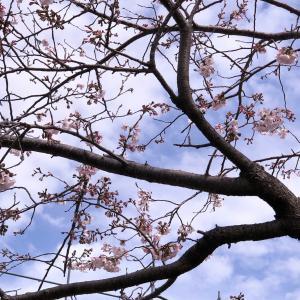 ●今年も庭に桜が咲きました♪