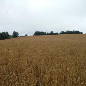 小麦収穫の風景