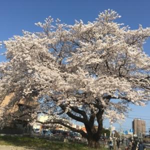 4月3日(土)お花見