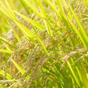 人生の収穫の時期☆黄金の稲穂の意味