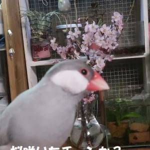 キッチンに桜