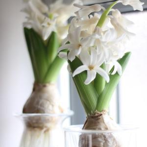 ヒヤシンスの花が咲く、そして場所と花器を変える