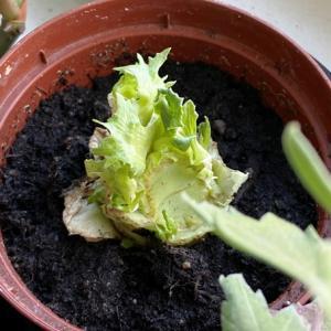 野菜の残りから育ててみる